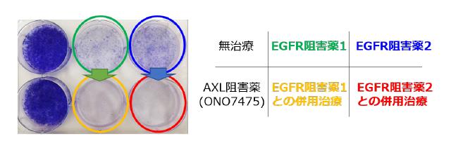 (図)EGFR阻害薬とAXL阻害薬の併用治療効果