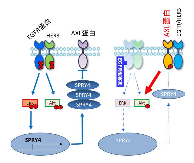 図)AXLシグナル伝達による肺がん分子標的薬の治療抵抗性メカニズム
