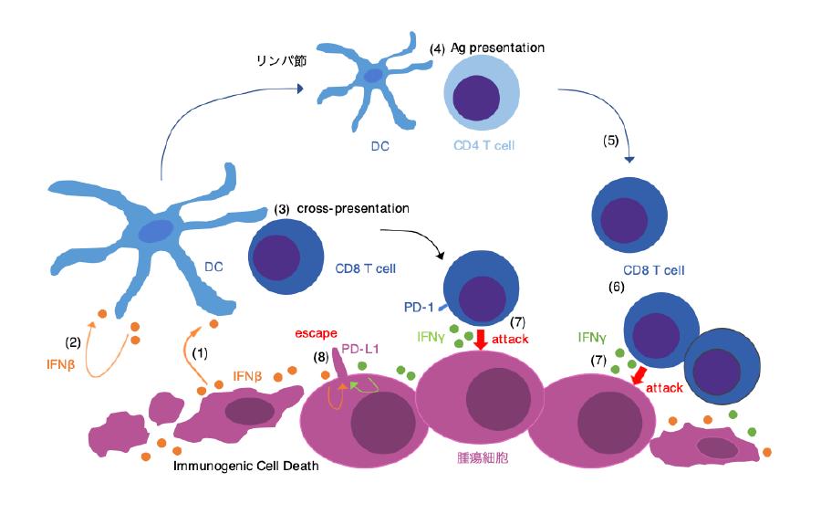 (図)腫瘍微小環境におけるIFNβ・IFNγ とPD-L1の発現について