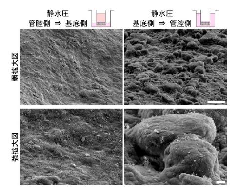 (図)静水圧が上皮細胞に及ぼす影響(走査電子顕微鏡像)