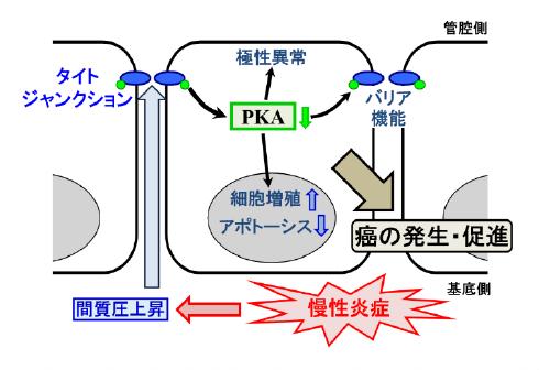 (図)間質圧の上昇とがん発生についての本研究仮説