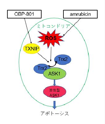 (図)OBP-801とアムルビシンの併用効果メカニズム